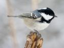 c_125_95_16777215_0_0_images_stories_birds_bolezni_3.jpg