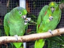 c_125_95_16777215_0_0_images_stories_birds_bolezni_5.jpg