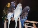 c_125_95_16777215_0_0_images_stories_birds_bolezni_6.jpg