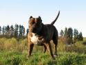 c_125_95_16777215_0_0_images_stories_dogs_raznoe_3.jpg